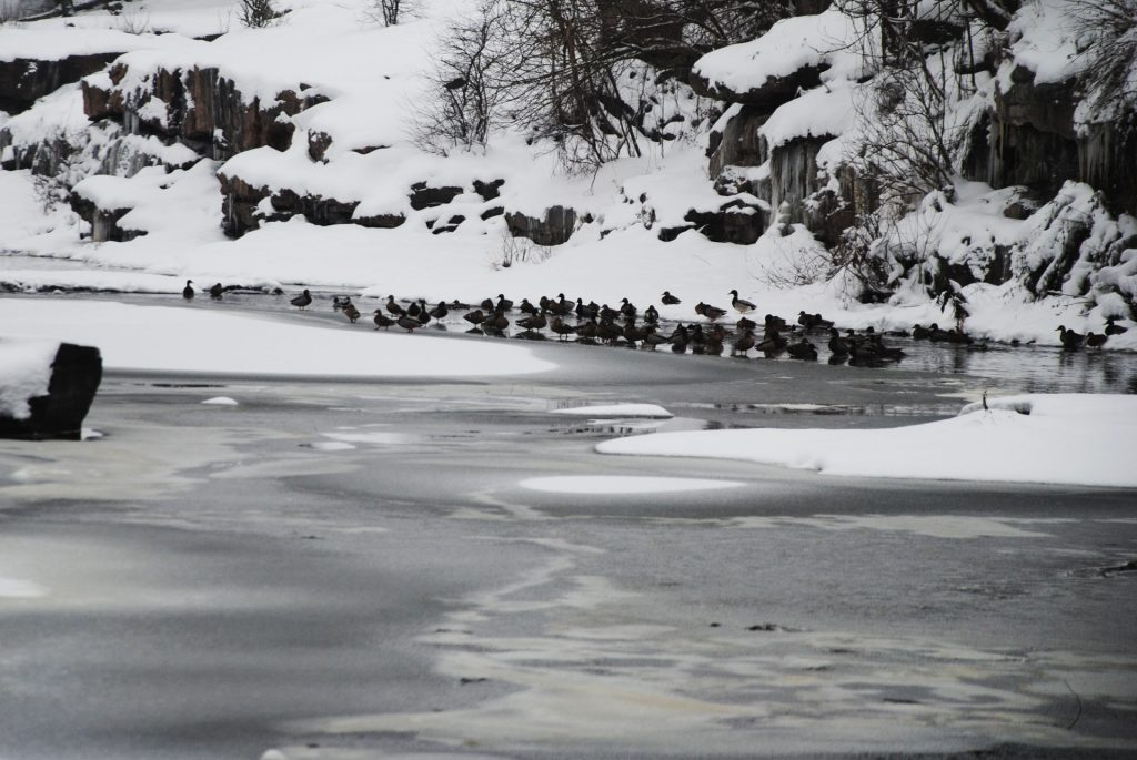 Качки зимою на березі Буцького каньйону (2).